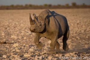 Black-Rhino-mprophet