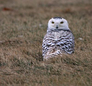 birding ecotours Winter owls
