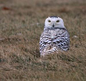 birding ecotours Winter owls