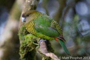 birding ecotours west papua_2-mprophet
