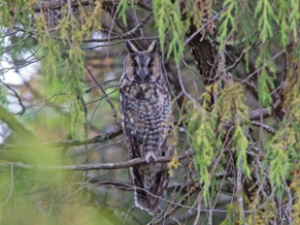 Abyssinian Owl_perrins