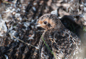 female Hottentot Buttonquail