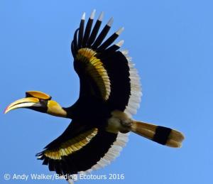 Great Hornbill-walker