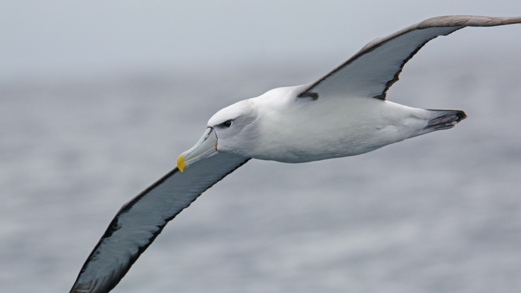 Shy Albatross (Thalassarche cauta) is present throughout the year