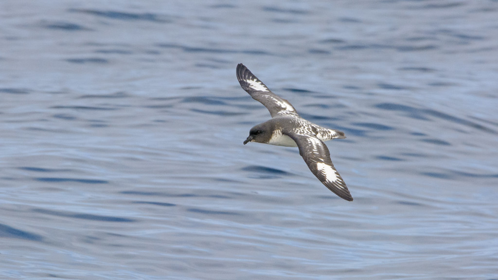 Cape Petrel (Daption capense) is predominantly found during the austral winter