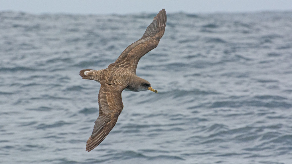 Cory's Shearwater (Calonectris diomedea) is present in the austral summer.