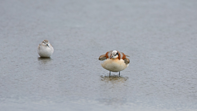 Male Wilson's Phalarope (left) looking on in complete awe