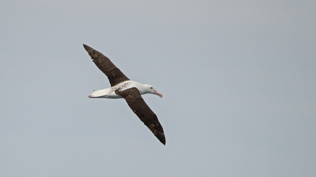The austral winter months are better for the 'great' albatrosses, like this Northern Royal Albatross (Diomedea sanfordi)