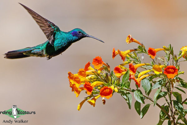 Hummingbirds of Peru