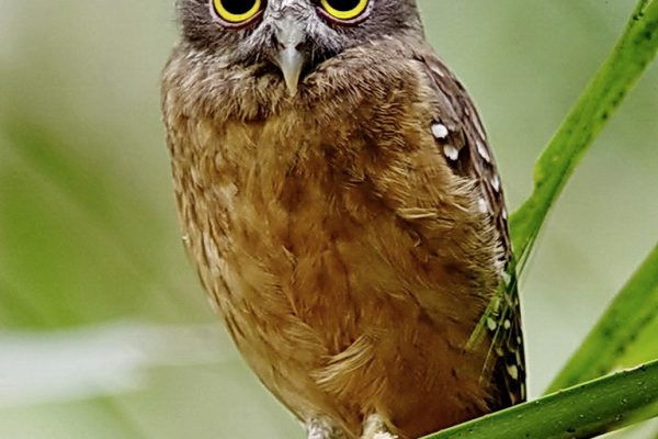 Ochre-bellied Hawk-Owl