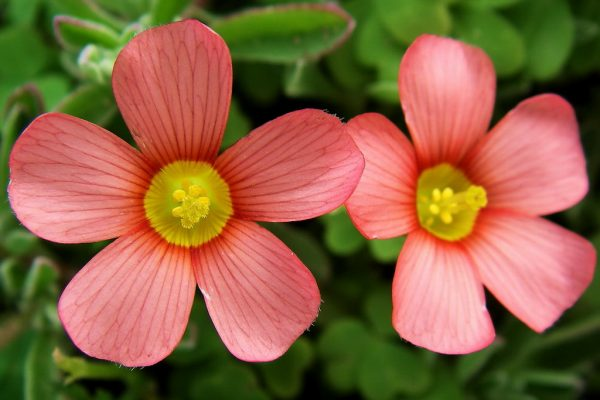 Oxalis obtusa (Yellow-eyed Sorrel)