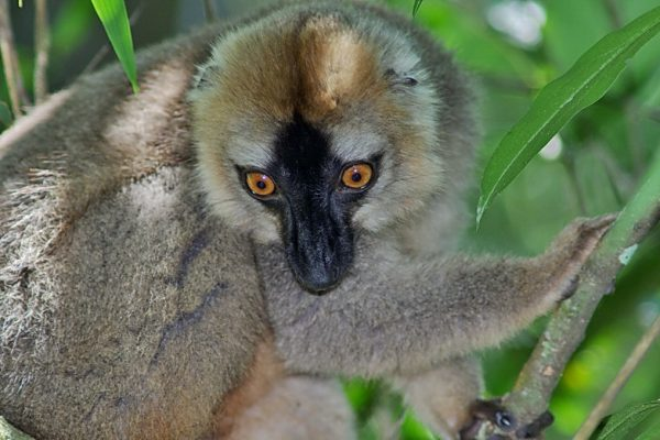 Red-brown Lemur