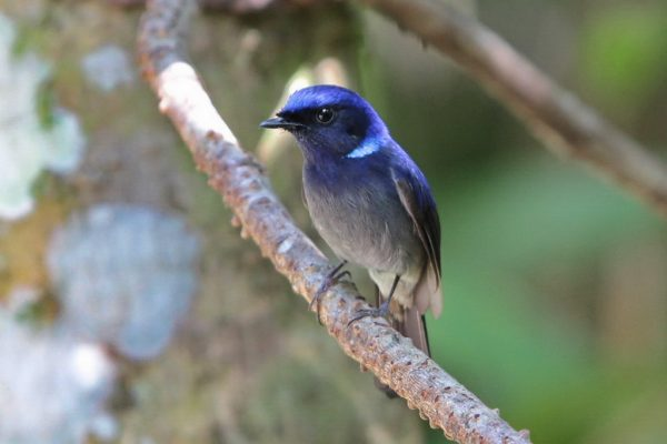 Small Niltava male