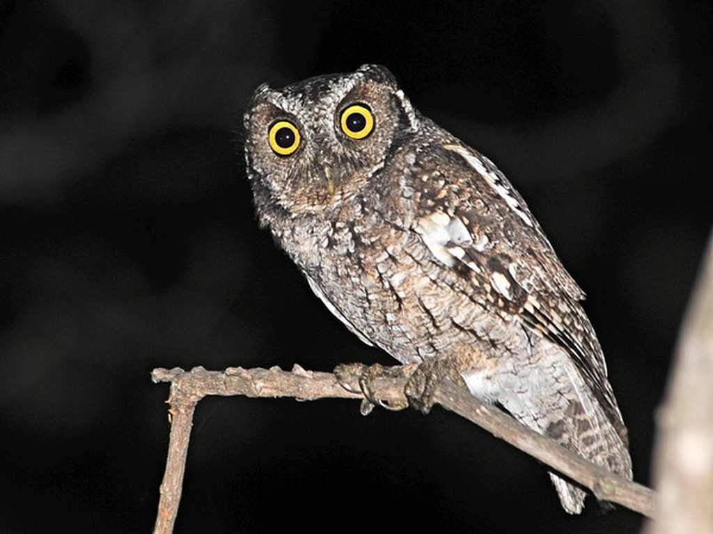 Owls of Northern Peru