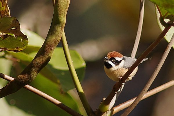 Black-throated Bushtit