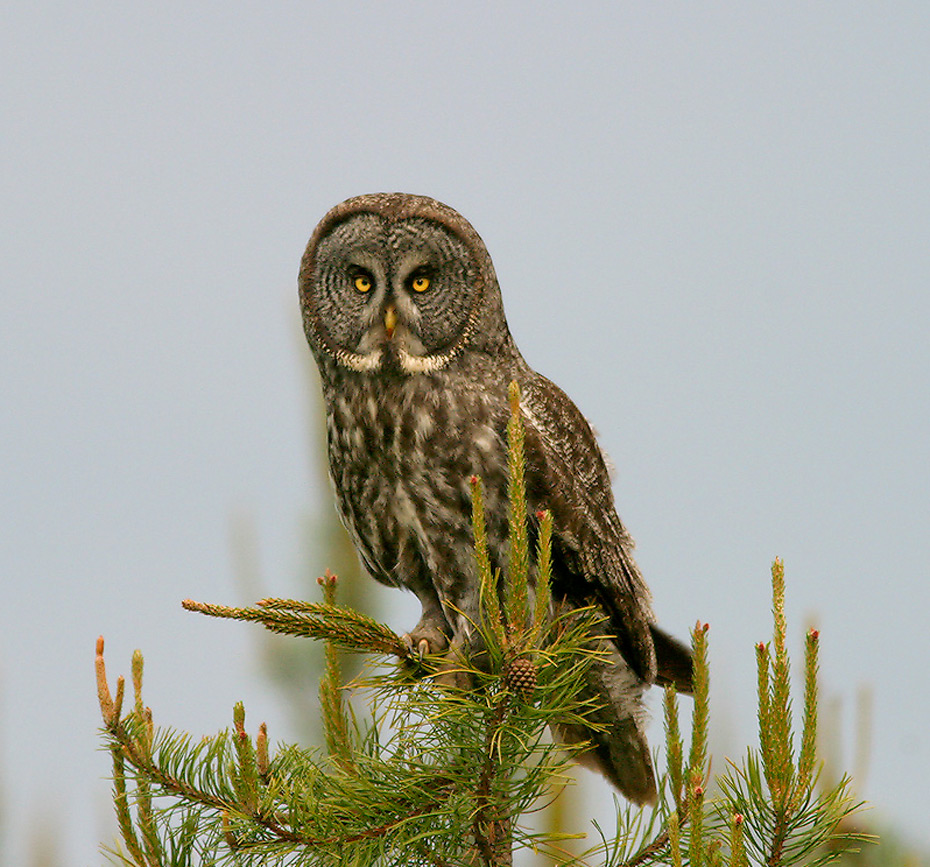 Birding Tour USA: Owls and Other Winter Birds of Minnesota January 2019