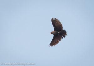 Black-eared Sparrow-Lark