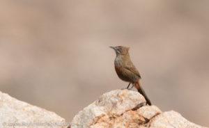 cinnamon-breasted-warbler