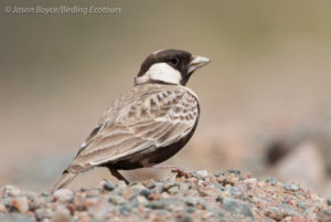Grey-backed Sparrowlark