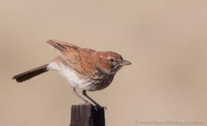 red-lark