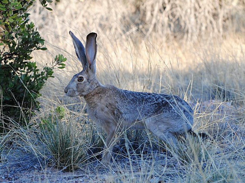 Jack Rabbit Usa >> Birding Tour Usa California Extension San Diego And The Salton Sea