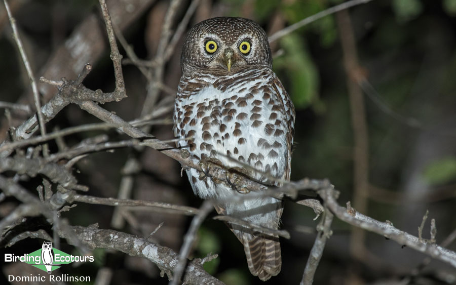 Owls of West Africa