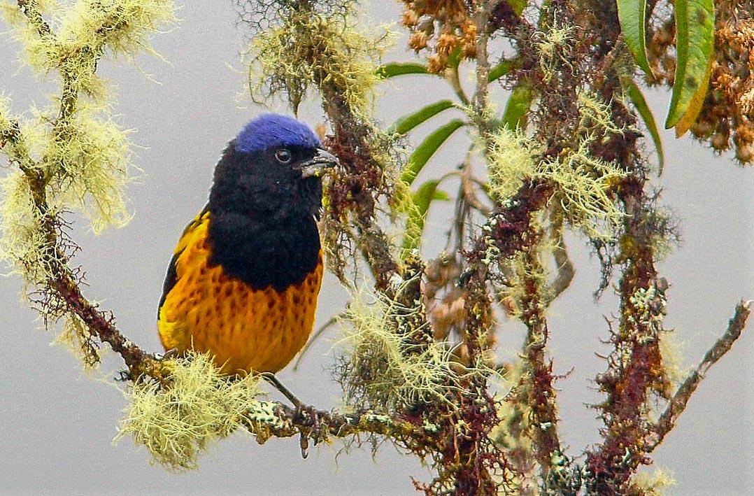 Birding Tour Peru: Central Peru September 2019