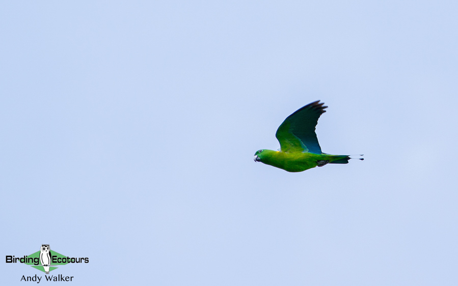 Sulawesi birding tours