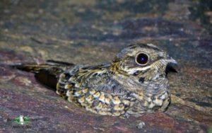 Forest Owlet birding tour