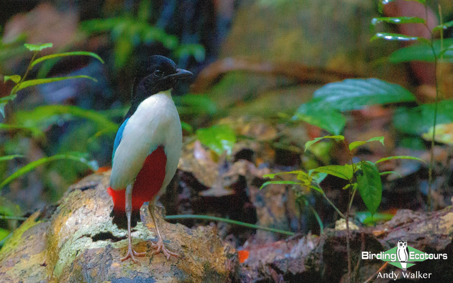Sulawesi and Halmahera birding tours