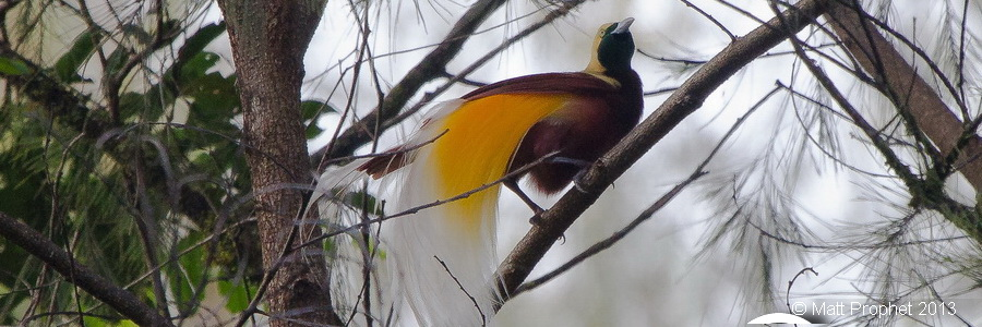 West Papua Birding Tour