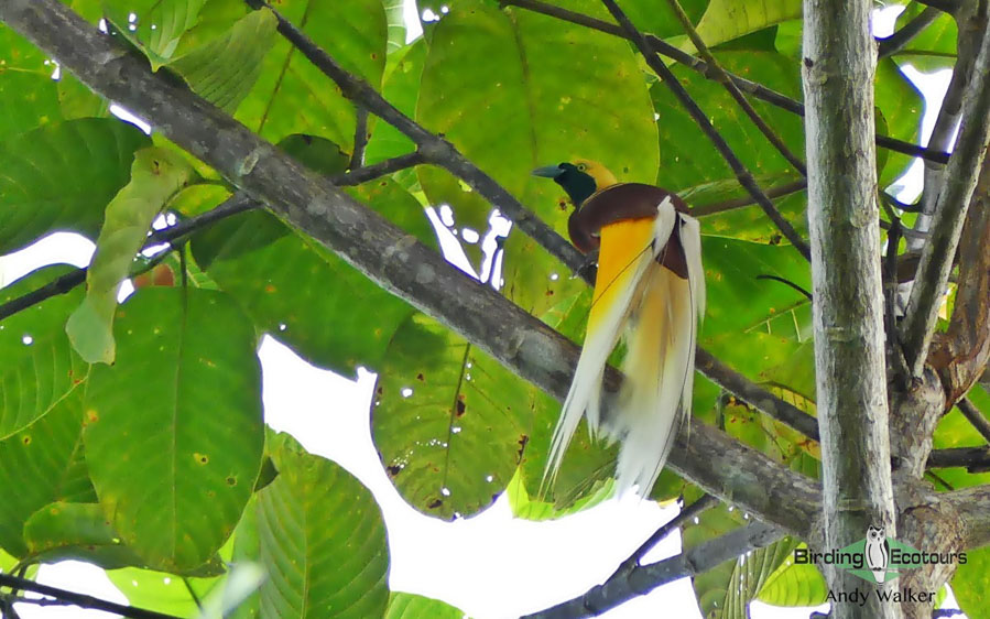 West Papua birding tours