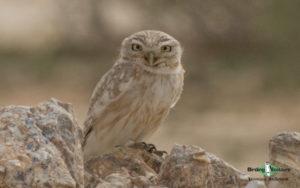 Owls of Israel