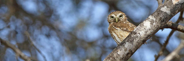 Owls of Peru