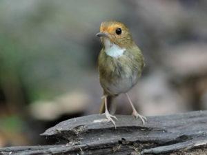 Central Thailand Birding Tour
