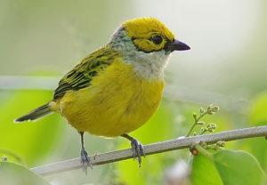 Panama Birding Tour