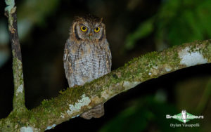 Owls of northern Peru