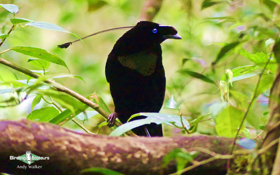 New Guinea birding tours