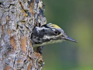 Austria And Hungary Birding Tour
