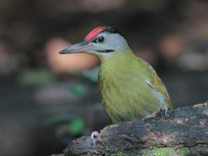 Bulgaria And Romania Birding Tour