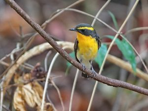 South Thailand birding tour