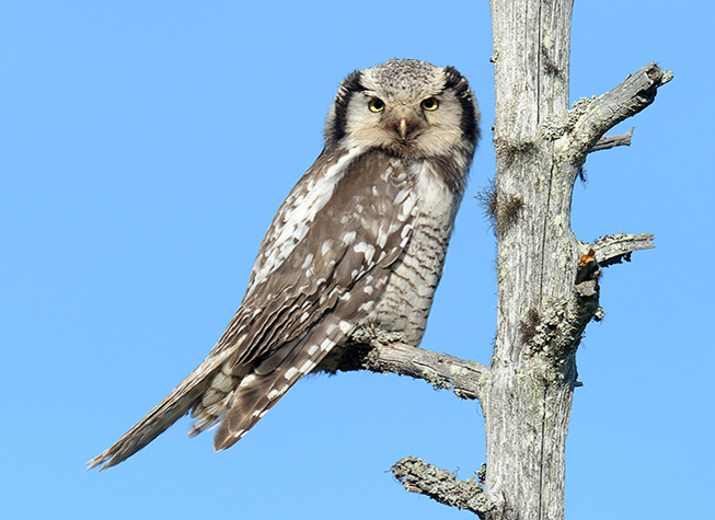Finland: Arctic Owls