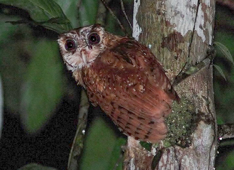 Owls of Borneo