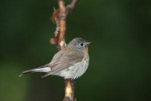 Austria and Hungary birding tour