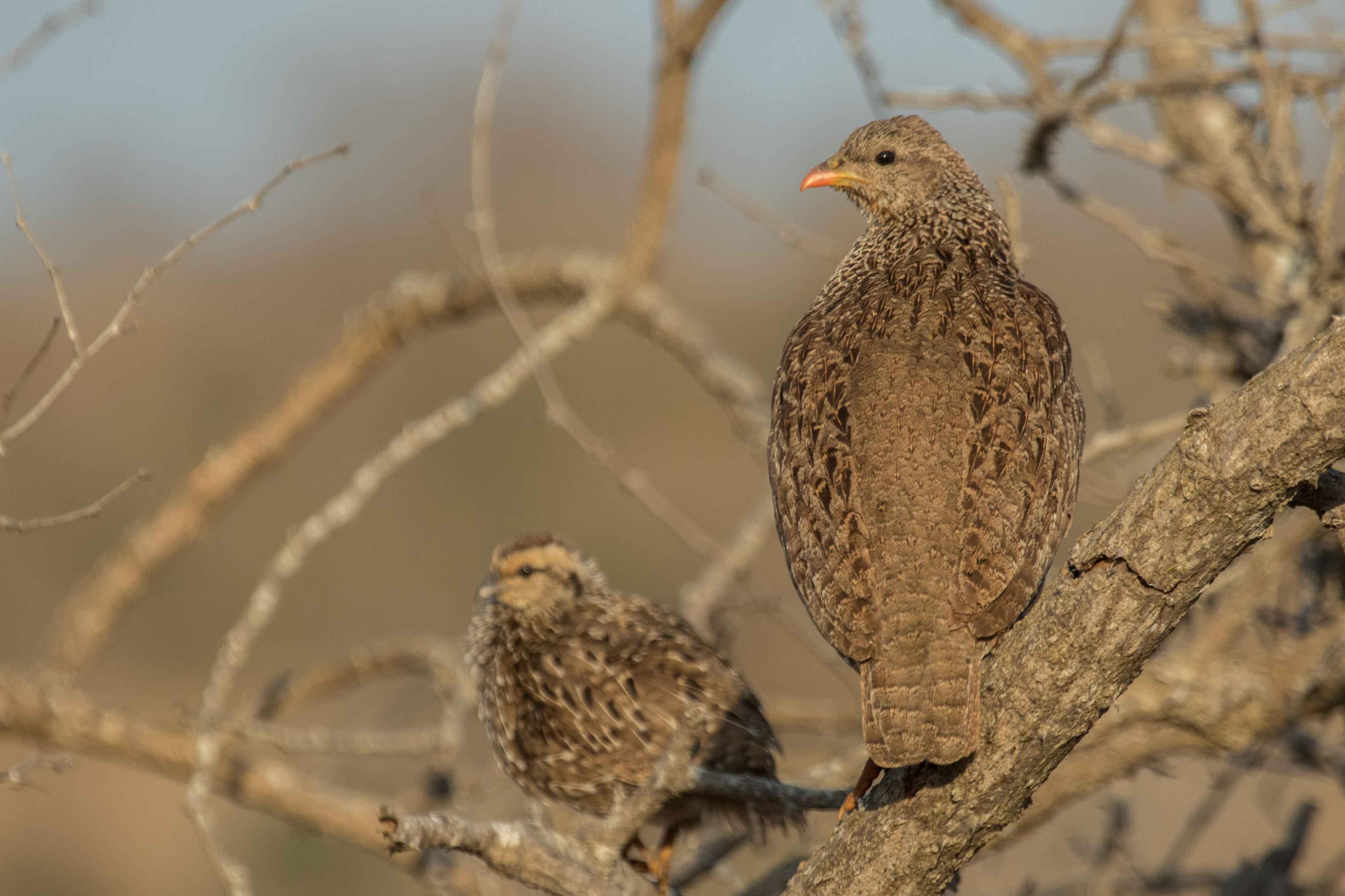 1-day Dinokeng / Zaagkuilsdrift Birding Tour