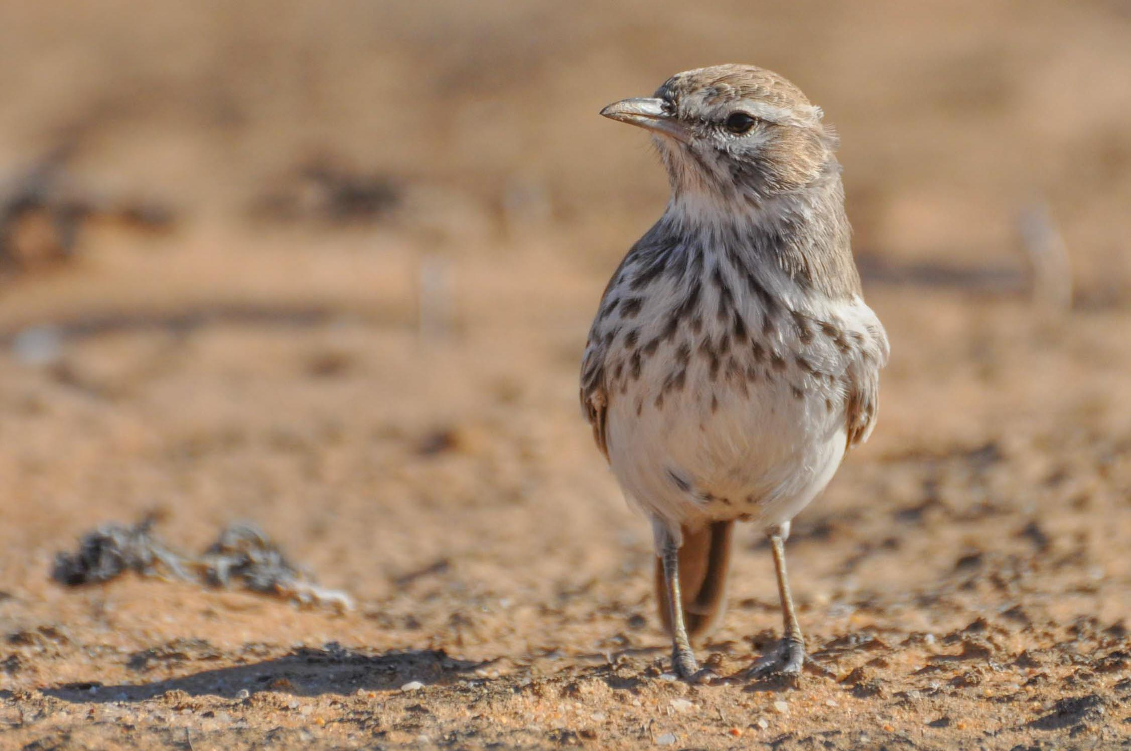 3-5-day Northern Cape Larks and other regional endemics