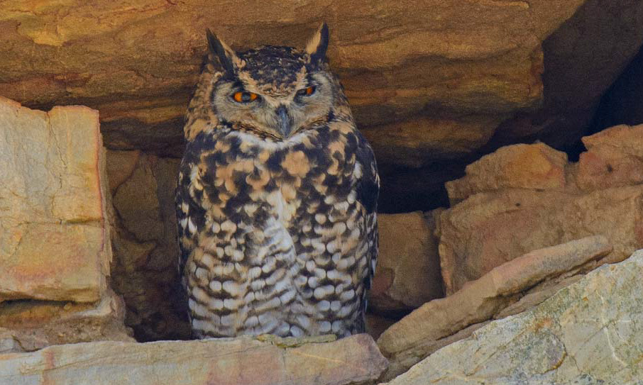 Birding Tour South Africa: Elusive Owls and Flufftails October 2019/2020/2021