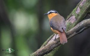 Shelley's Crimsonwing birding tour