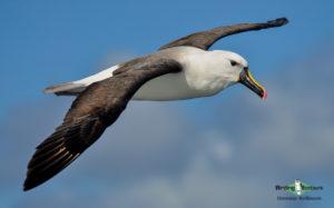 Cape pelagic