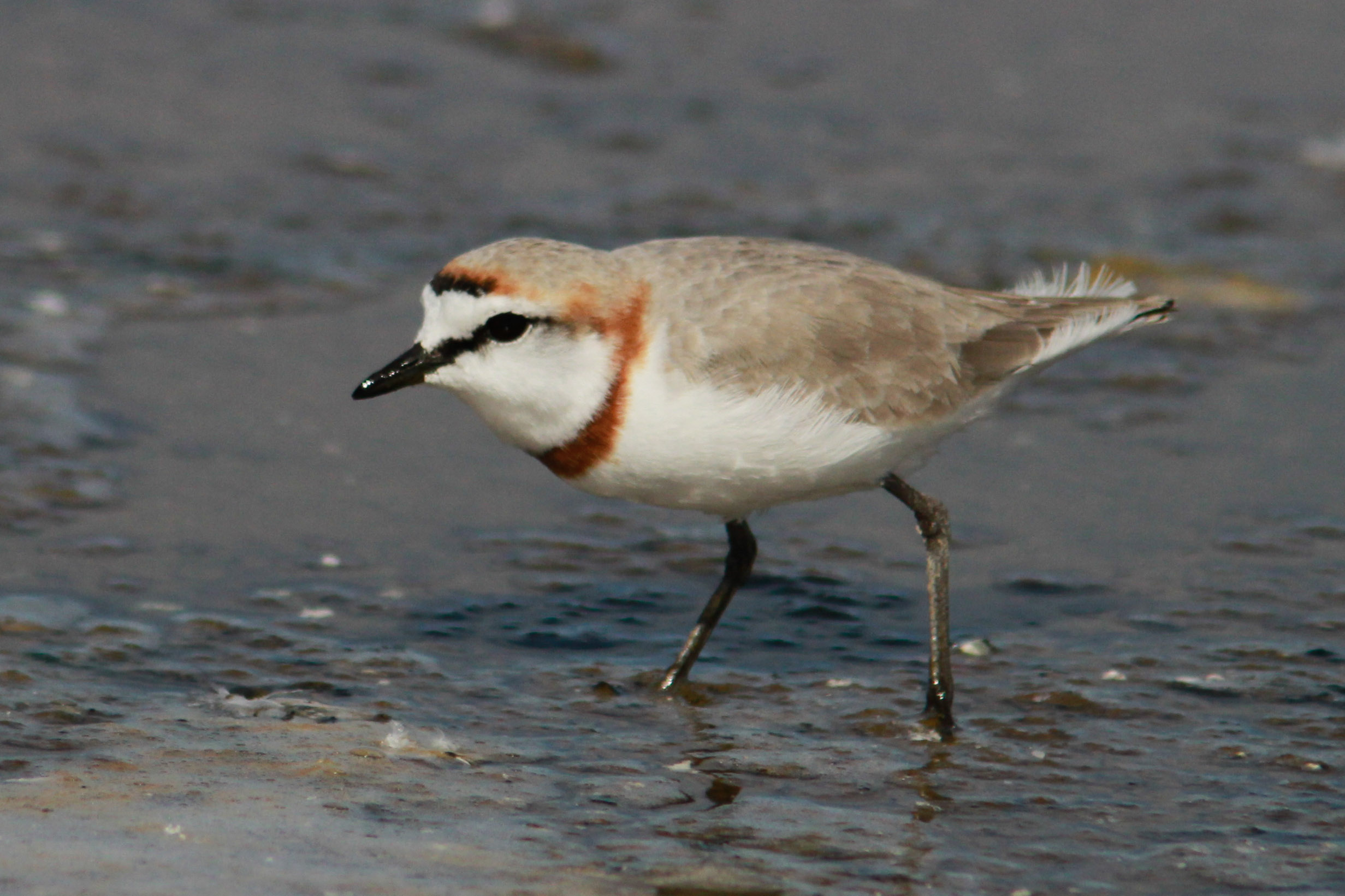 1-day West Coast Birding Tour